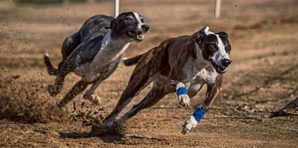 Best greyhound betting sites available to UK punters